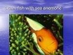 clown fish with sea anemone