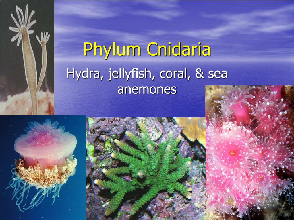 phylum cnidaria l.