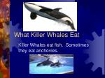 what killer whales eat
