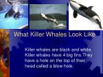 what killer whales look like