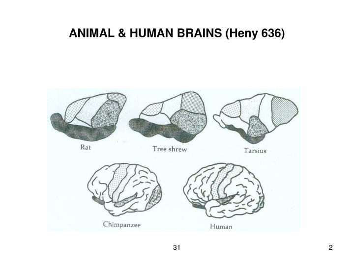 Animal human brains heny 636