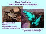class arachnida order scorpiones scorpions19