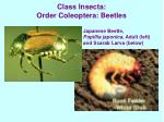class insecta order coleoptera beetles