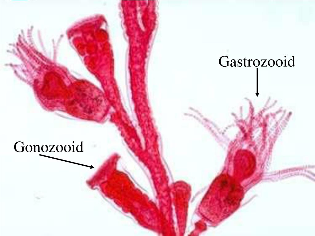 Gastrozooid