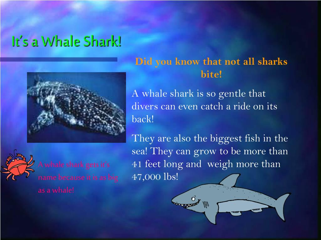 It's a Whale Shark!
