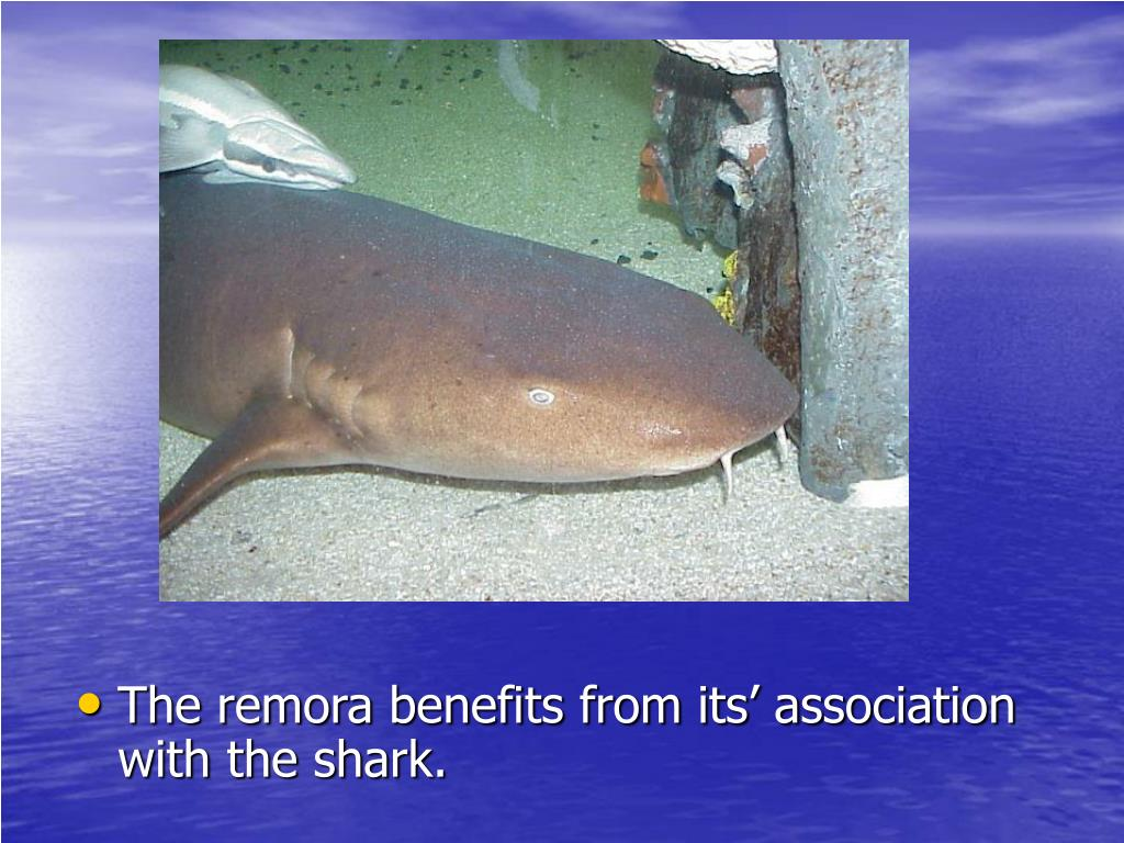The remora benefits from its' association with the shark.