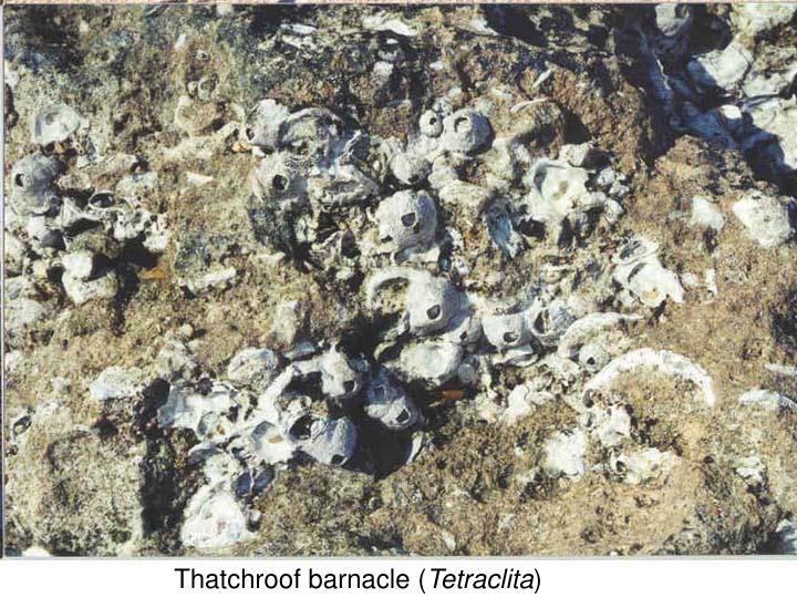 Thatchroof barnacle (
