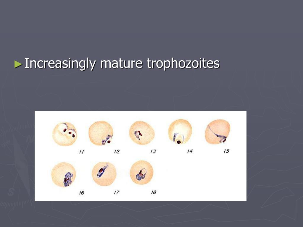 Increasingly mature trophozoites