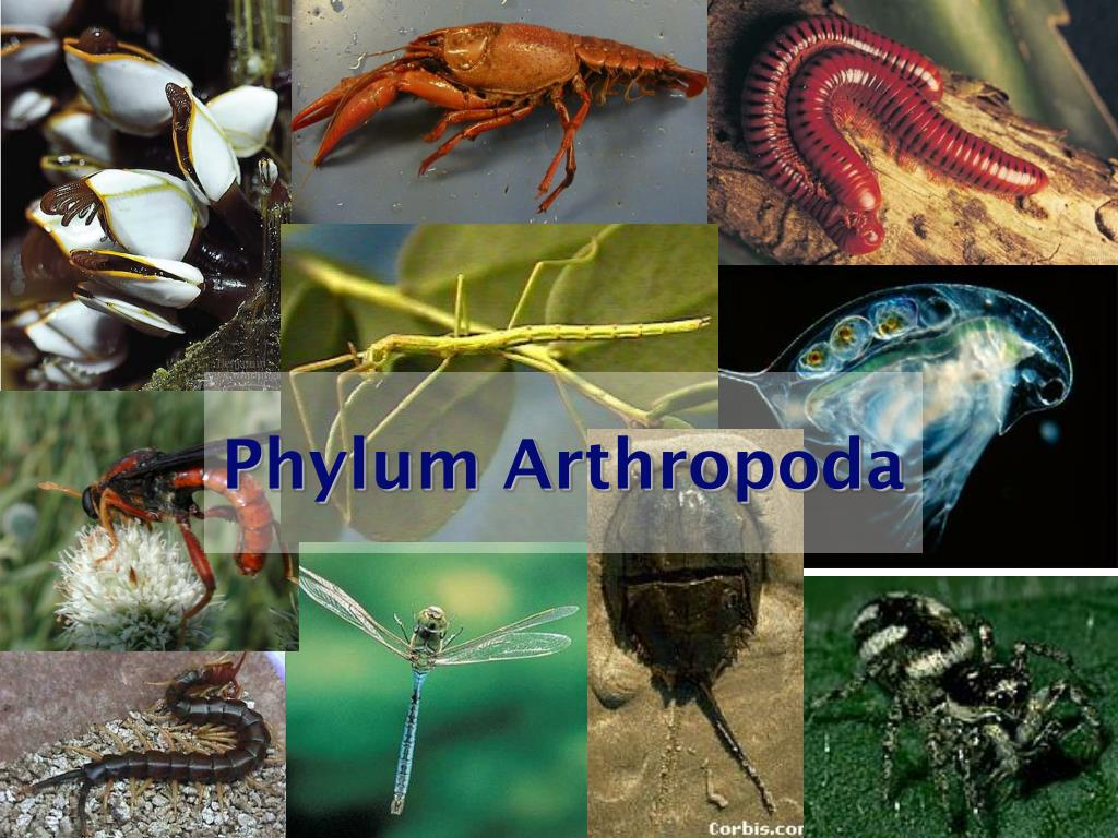phylum arthropoda l.