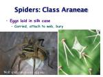 spiders class araneae40