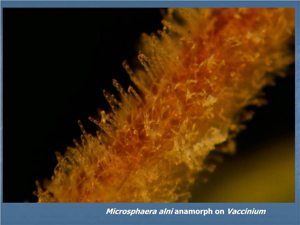 Microsphaera alni