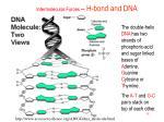 intermolecular forces h bond and dna