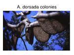 a dorsada colonies