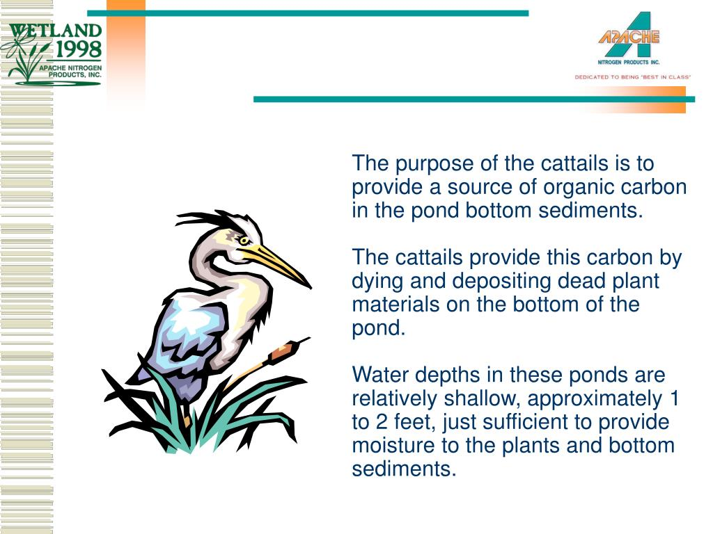 The purpose of the cattails is to provide a source of organic carbon in the pond bottom sediments.