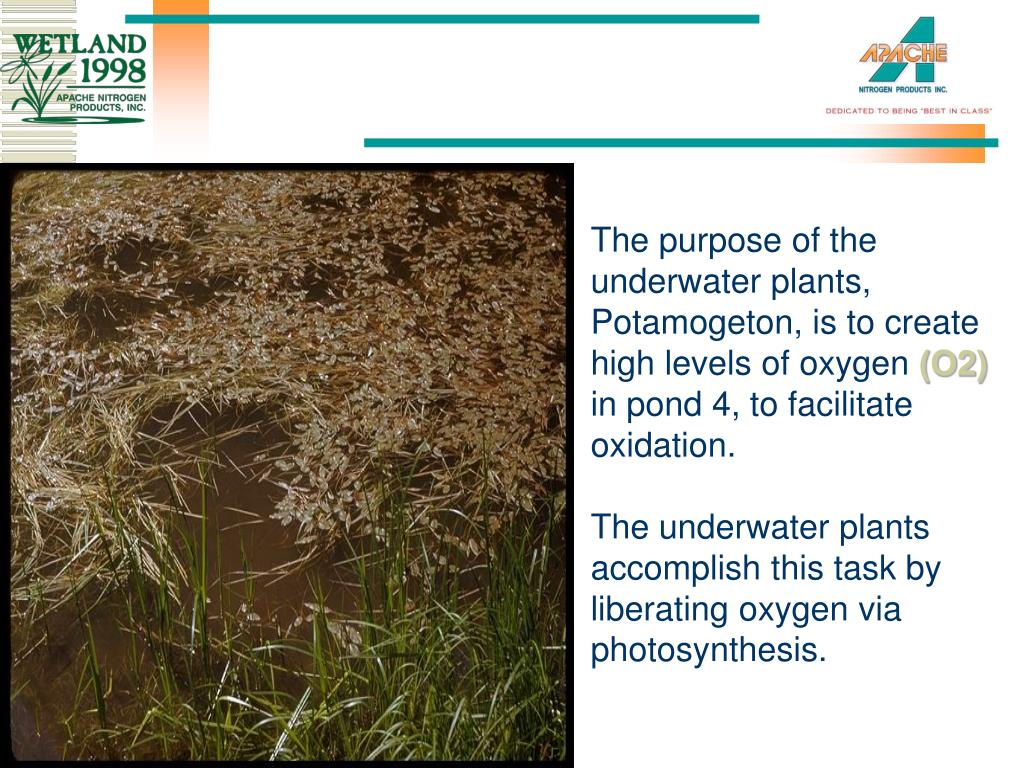 The purpose of the underwater plants, Potamogeton, is to create high levels of oxygen