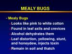 mealy bugs