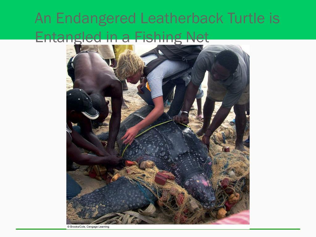 An Endangered Leatherback Turtle is Entangled in a Fishing Net