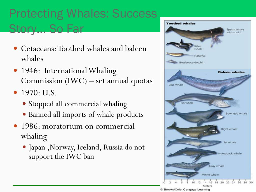 Protecting Whales: Success Story… So Far