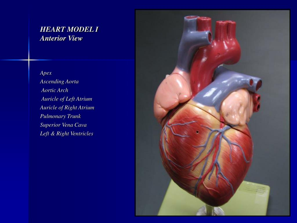 Ppt Heart Model I Anterior View Powerpoint Presentation Id157214
