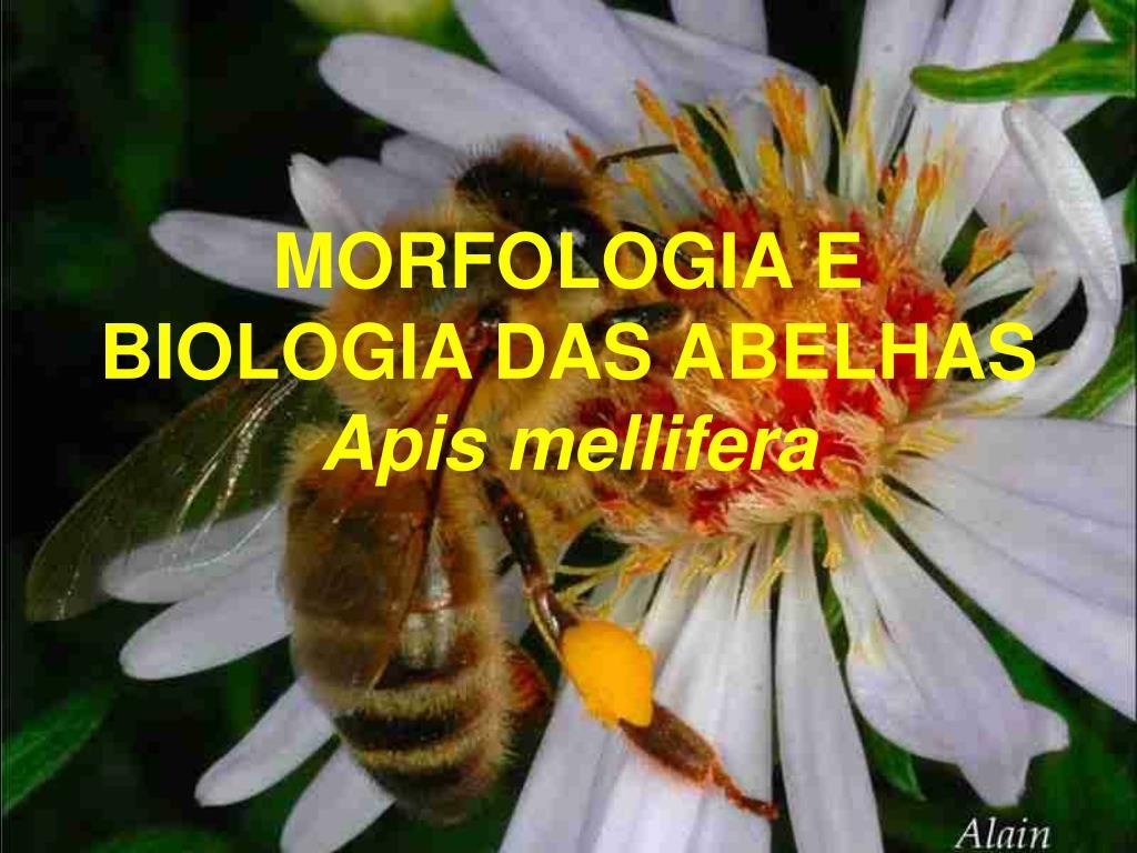 morfologia e biologia das abelhas apis mellifera l.