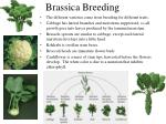 brassica breeding