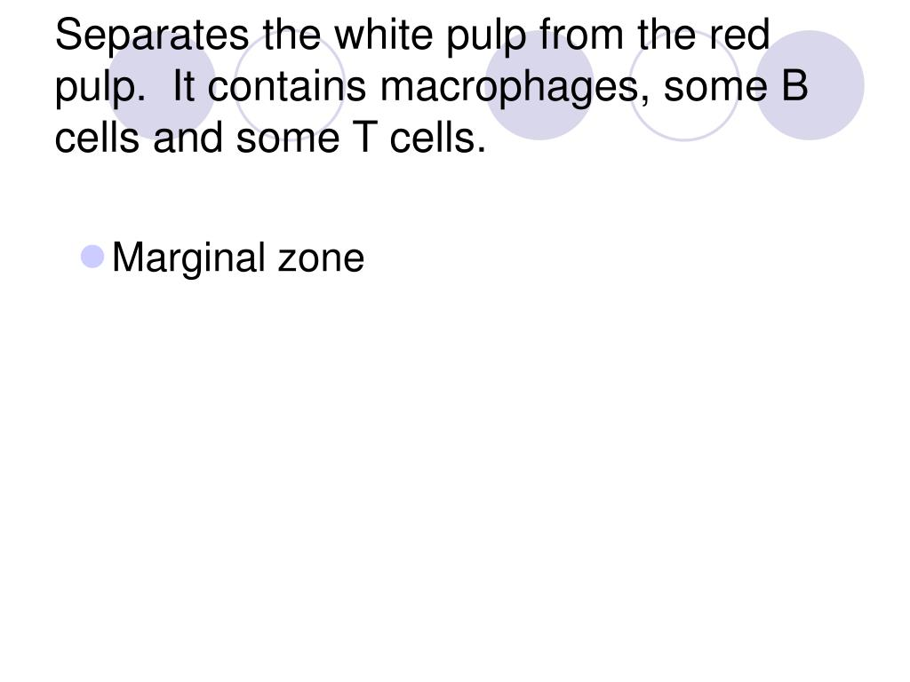 Separates the white pulp from the red pulp.  It contains macrophages, some B cells and some T cells.