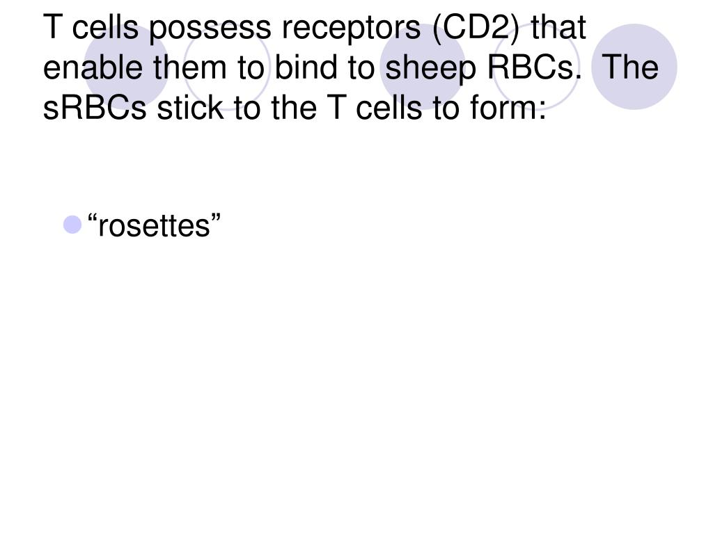 T cells possess receptors (CD2) that enable them to bind to sheep RBCs.  The sRBCs stick to the T cells to form: