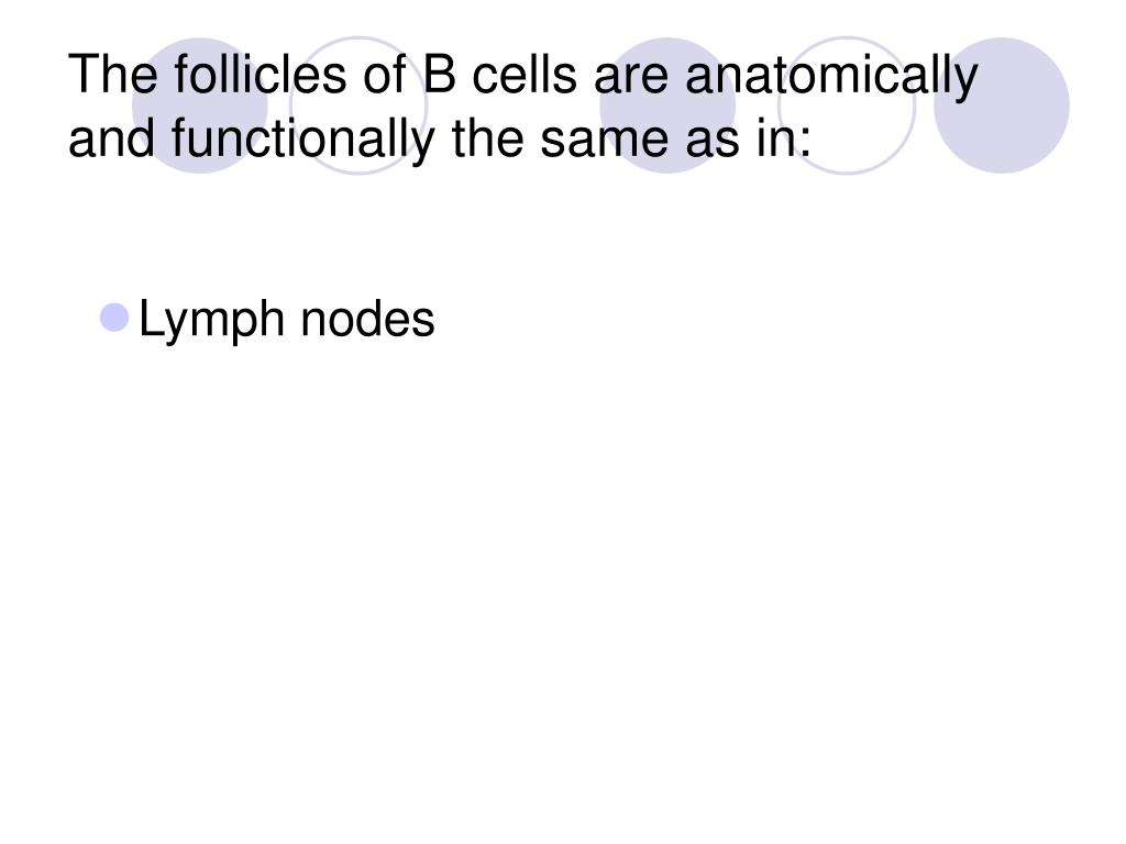 The follicles of B cells are anatomically and functionally the same as in: