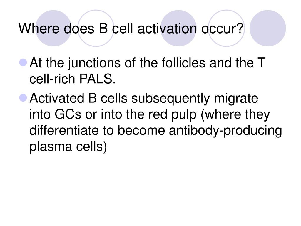 Where does B cell activation occur?