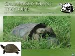 galapagos giant tortoise photograph courtesy of dr phillip dvoskin