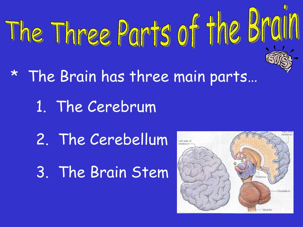 The Three Parts of the Brain
