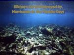 elkhorn coral destroyed by hurricanes in the florida keys