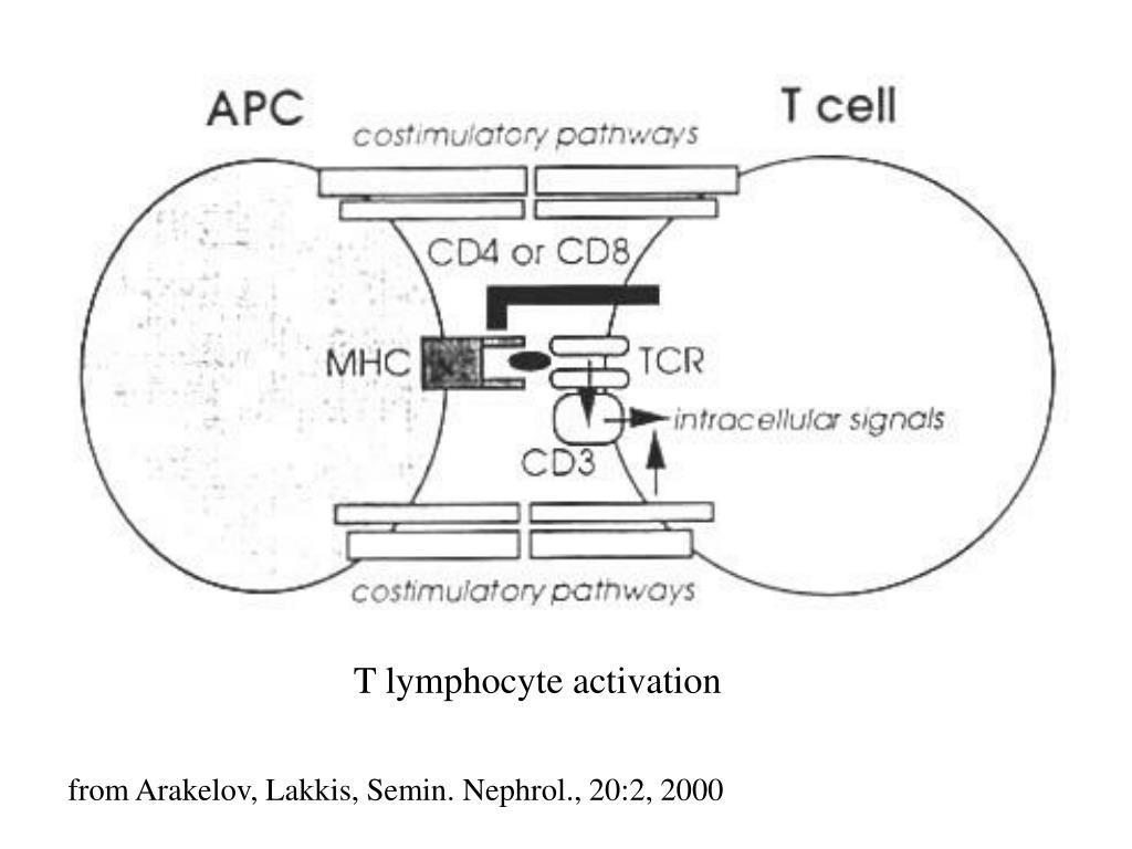 T lymphocyte activation