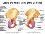 lateral and medial views of the os coxae