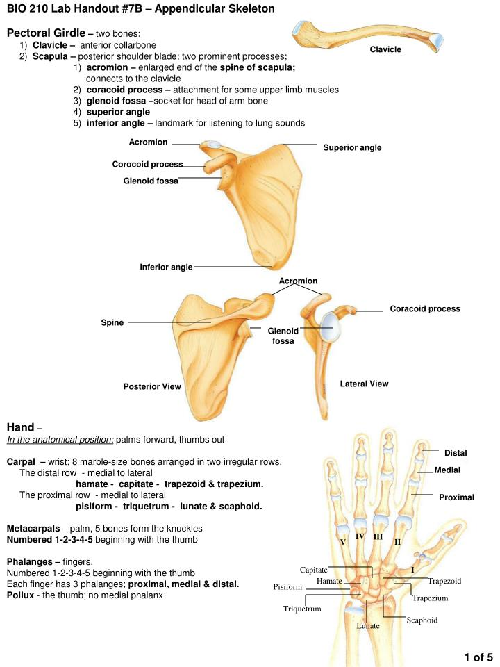 Lab report appendicular skeleton. Term paper Writing Service ...