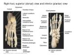 right foot superior dorsal view and inferior plantar view