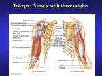 triceps muscle with three origins