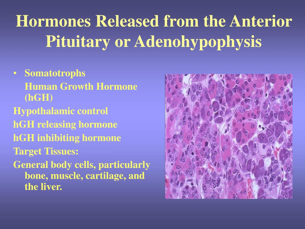hormones released from the anterior pituitary or adenohypophysis l.