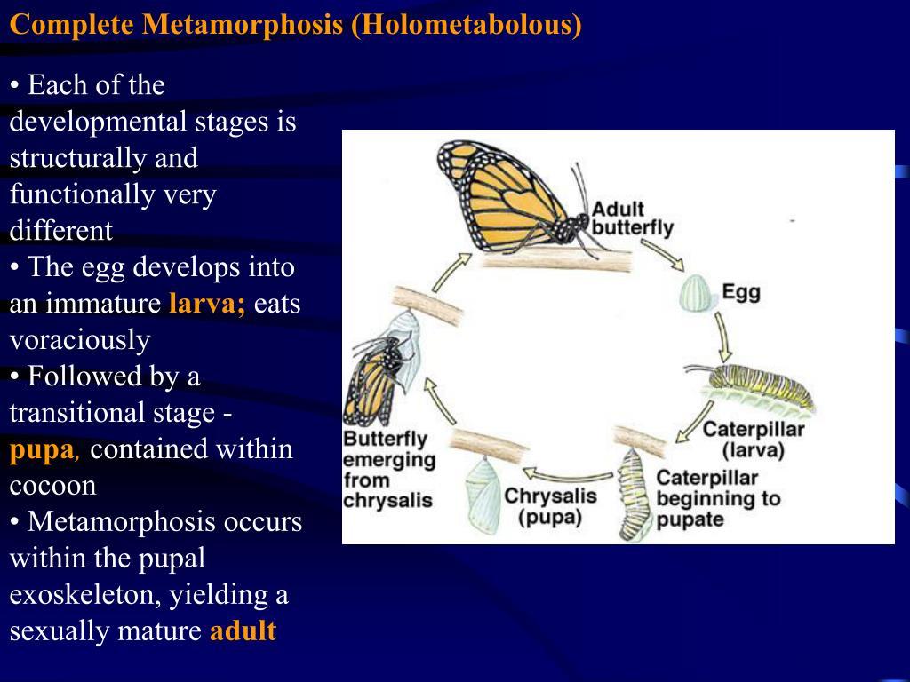 Complete Metamorphosis (Holometabolous)
