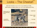 looks the cheetah