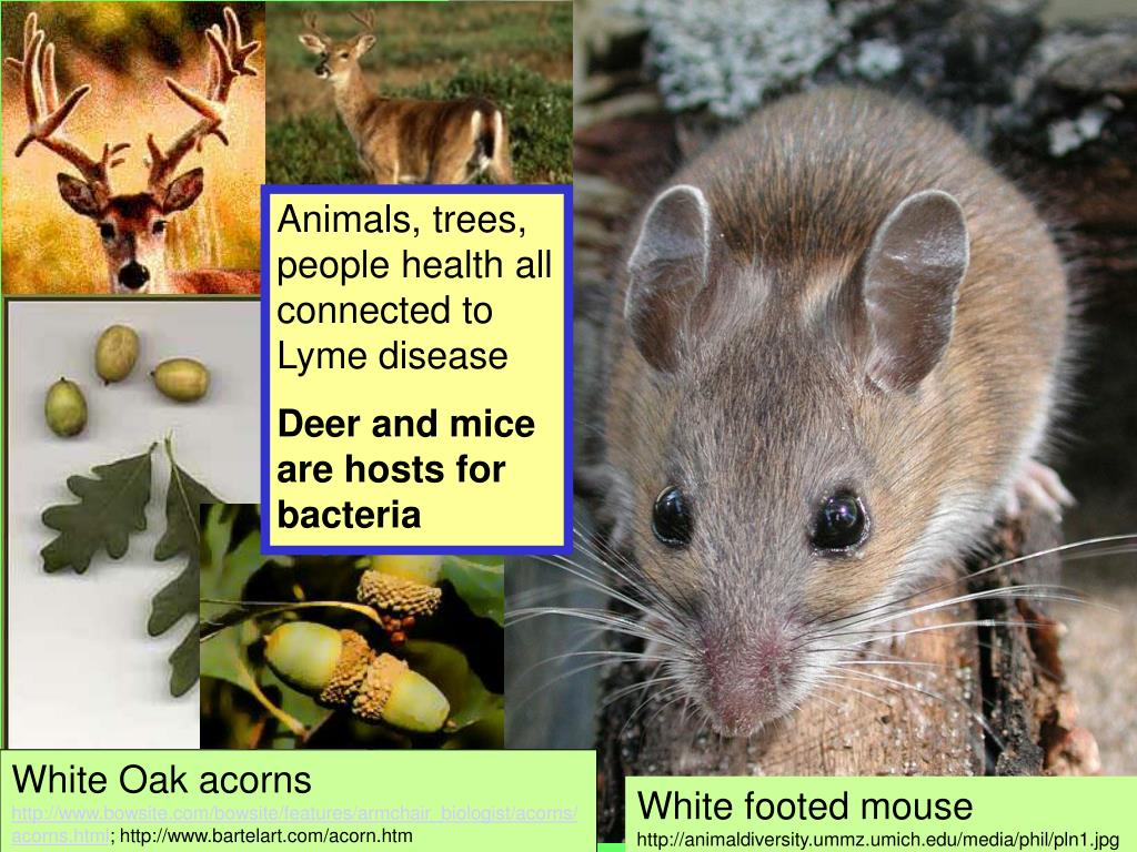 Animals, trees, people health all connected to Lyme disease