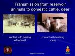 transmission from reservoir animals to domestic cattle deer