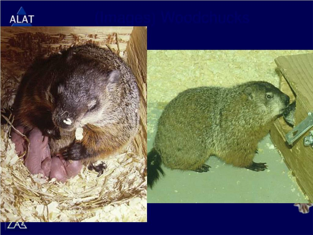 (Images) Woodchucks