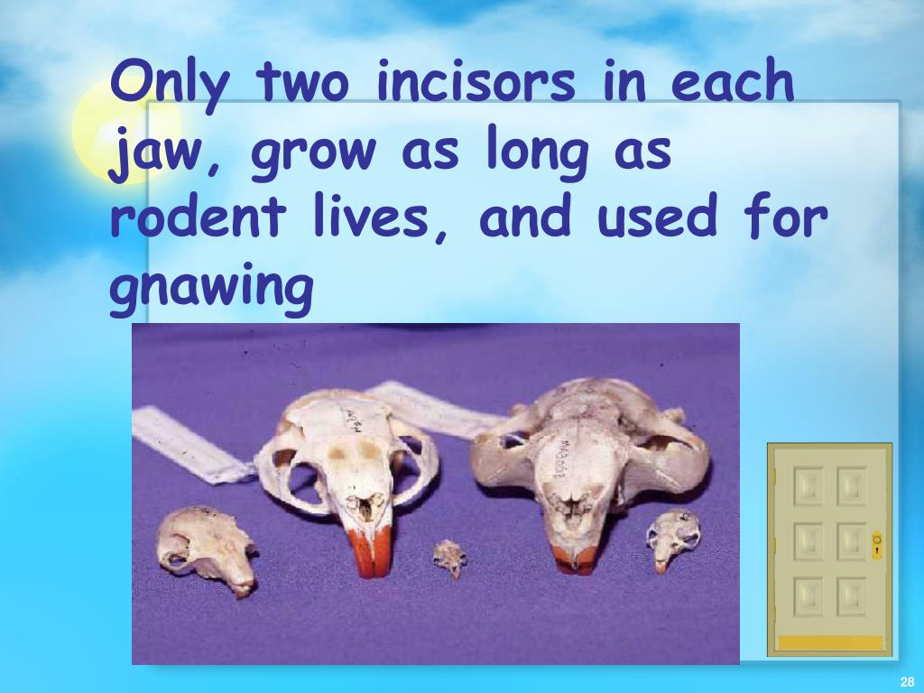 Only two incisors in each jaw, grow as long as rodent lives, and used for gnawing