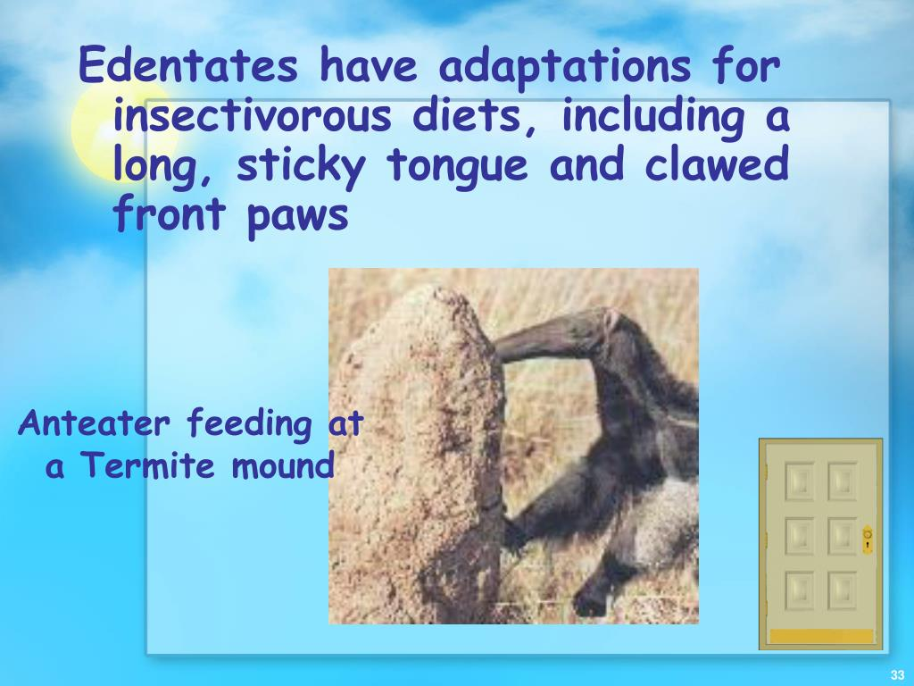 Edentates have adaptations for insectivorous diets, including a long, sticky tongue and clawed front paws