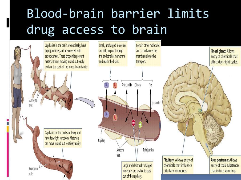 Blood-brain barrier limits drug access to brain