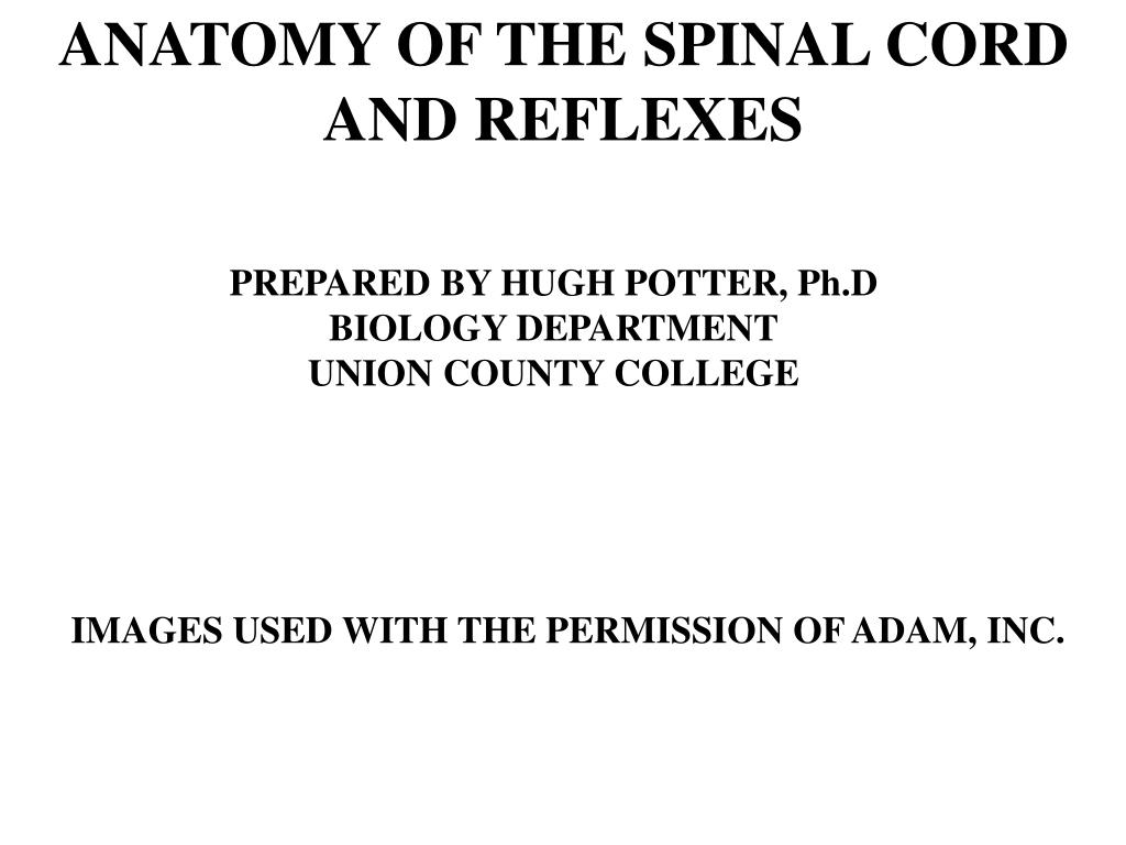 PPT - ANATOMY OF THE SPINAL CORD AND REFLEXES PowerPoint