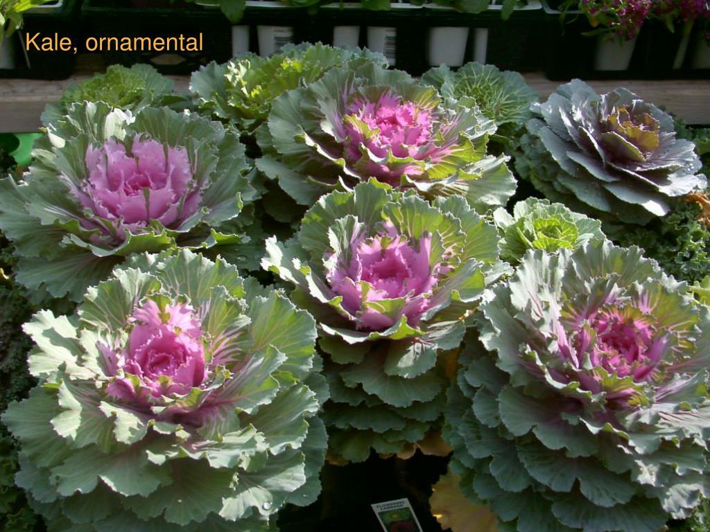 Kale, ornamental
