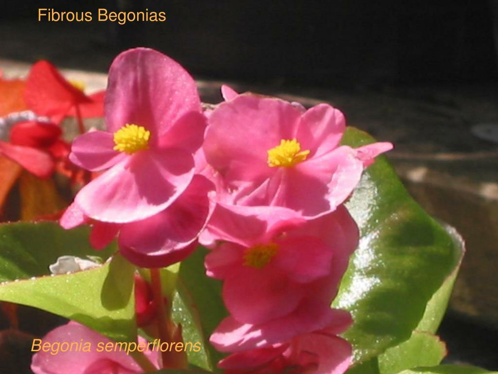 Fibrous Begonias