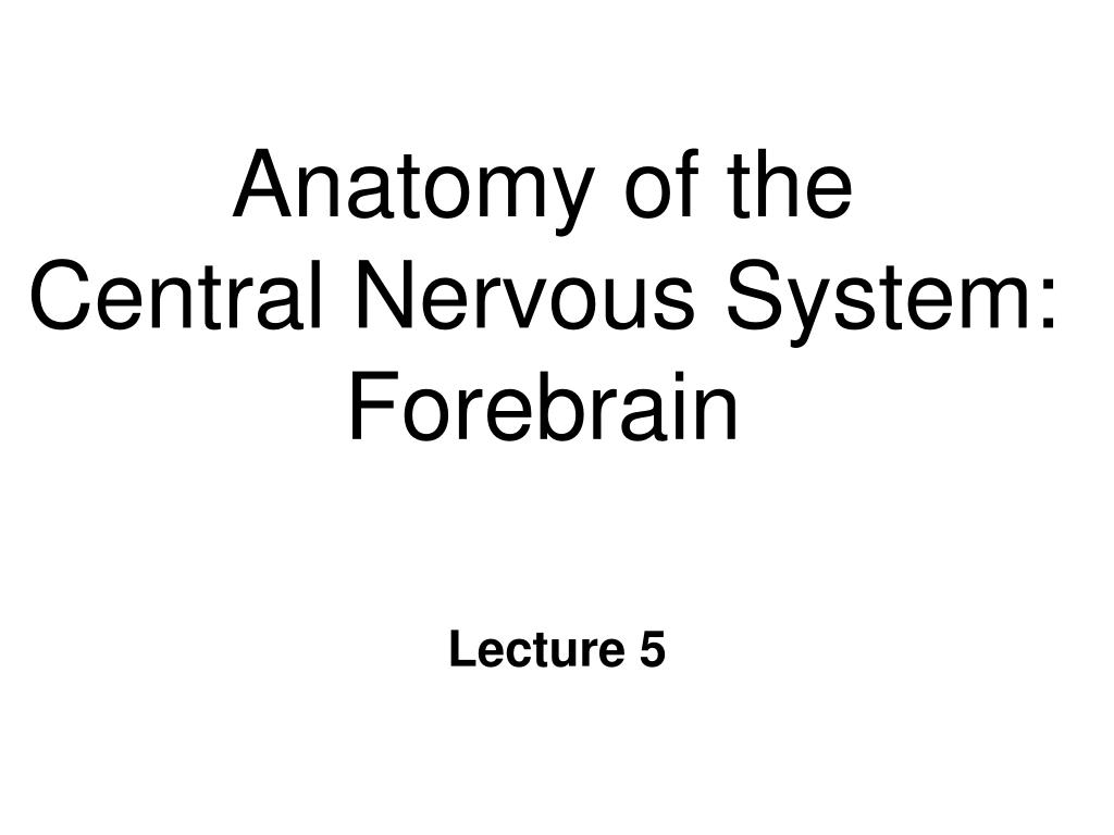 anatomy of the central nervous system forebrain l.